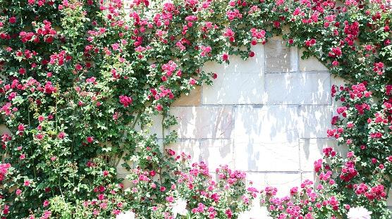 Bunga berdaun rambat, paling pas jadi hiasan dinding