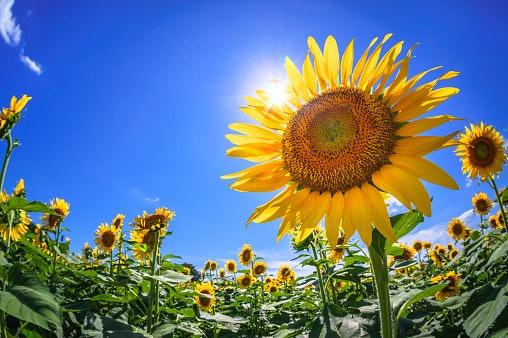 Arti dari buket bunga matahari