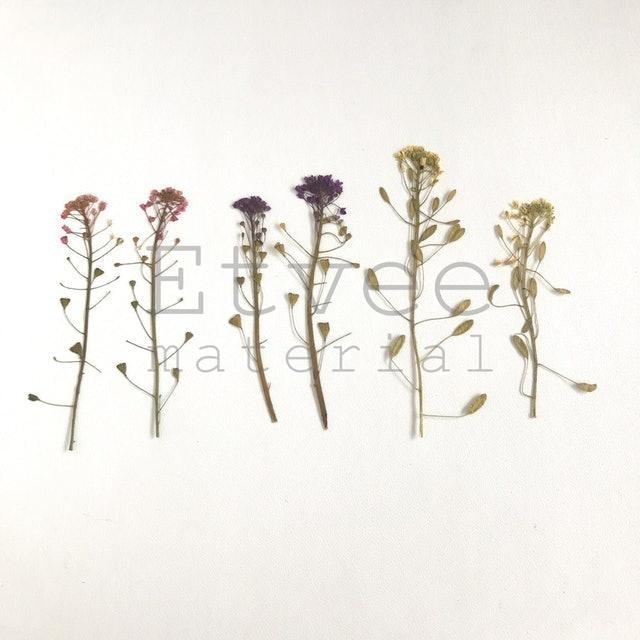 Buckwheat Pressed Flower 1